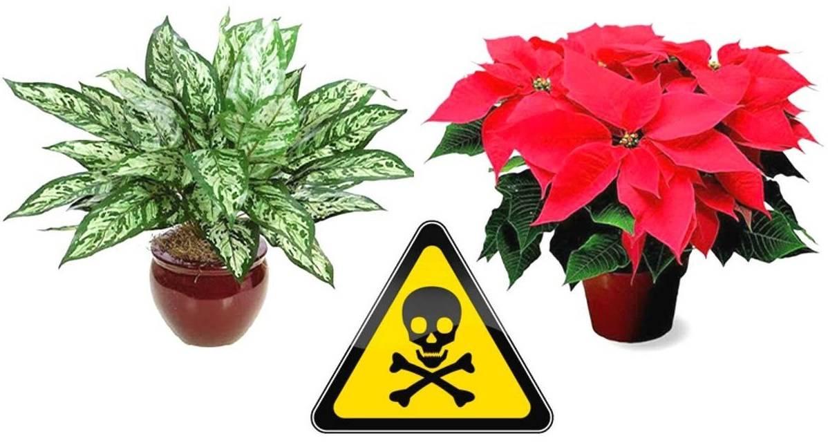 Какие комнатные растения вредны для человека